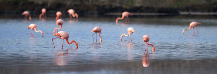 flamingos grazing in the water